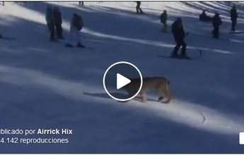 Un lynx se pasea por una pista de esquí en Colorado