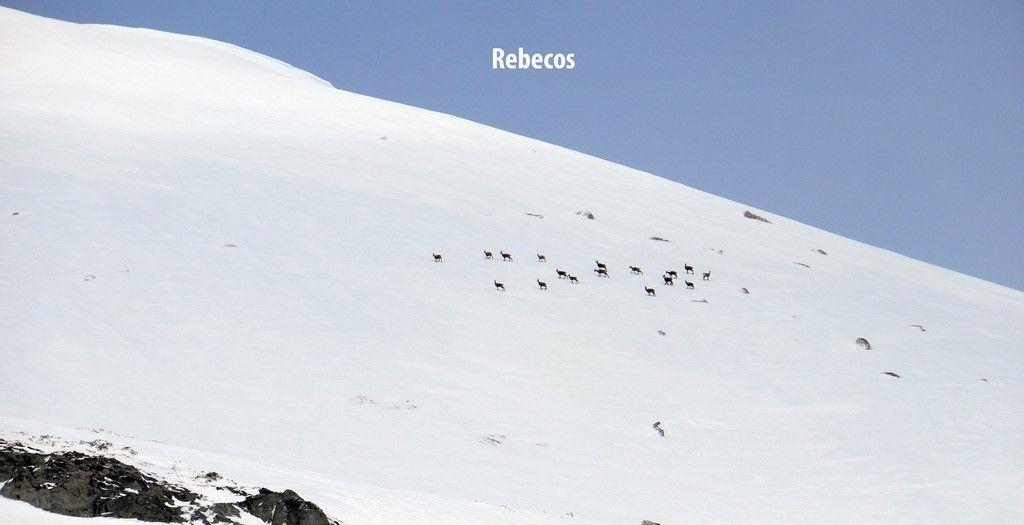 Rebecos