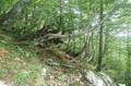 Bosque de las hayas de Candanchú, un bosque encantado..