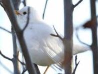 El mirlo Blanco